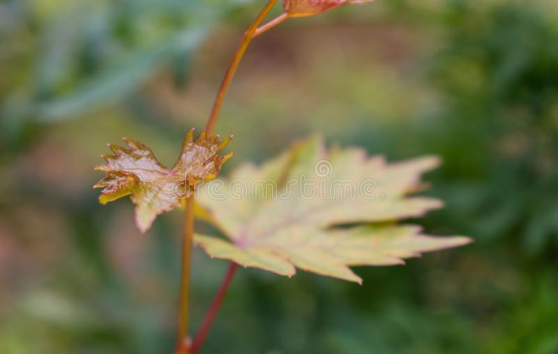 Hoja amarilla rojiza fresca de la uva nacional en macro imagen de archivo libre de regalías