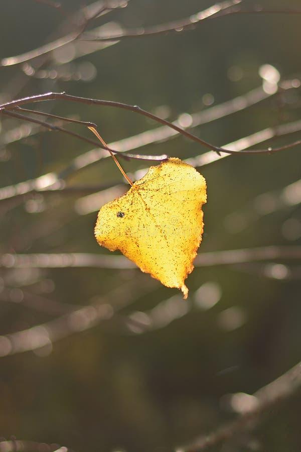 Hoja amarilla sola de un tilo que cuelga en una rama de árbol en el otoño fotografía de archivo