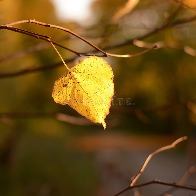 Hoja amarilla sola de un tilo que cuelga en una rama de árbol en el otoño imagenes de archivo