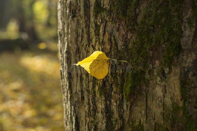 Hoja amarilla sola de un tilo que cuelga en una rama de árbol en el otoño imágenes de archivo libres de regalías