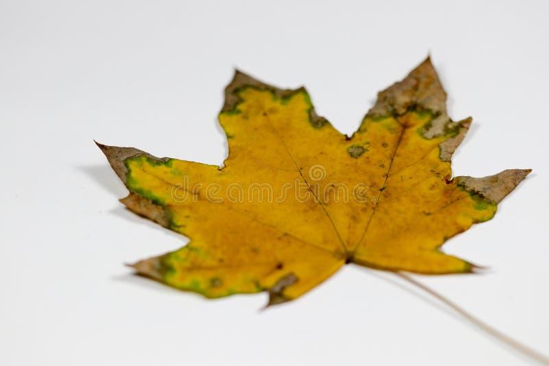 Hoja amarilla y verde fotografía de archivo libre de regalías