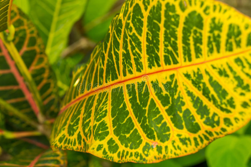 Download Hoja Amarilla Y Verde Colorida Del Croton Imagen de archivo - Imagen de floral, bali: 41910201
