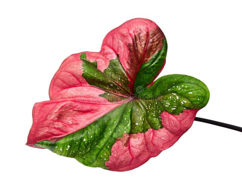 Hoja bicolor o reina de las plantas frondosas, follaje bicolor de Caladium aislado en el fondo blanco, con la trayectoria de reco fotos de archivo