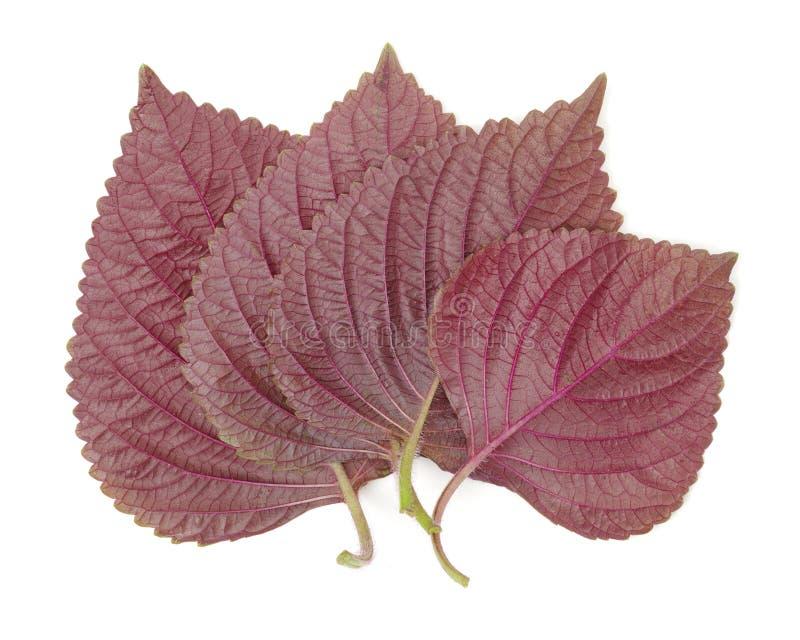 Hoja coreana púrpura del Perilla fotos de archivo