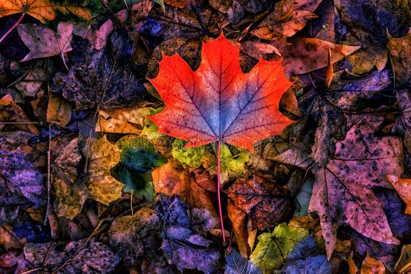 Hoja de arce abstracta colorida del otoño fotografía de archivo