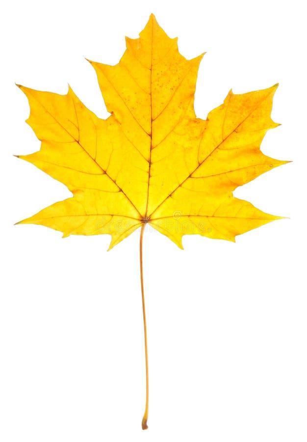 Hoja de arce amarilla aislada en un blanco imagen de archivo