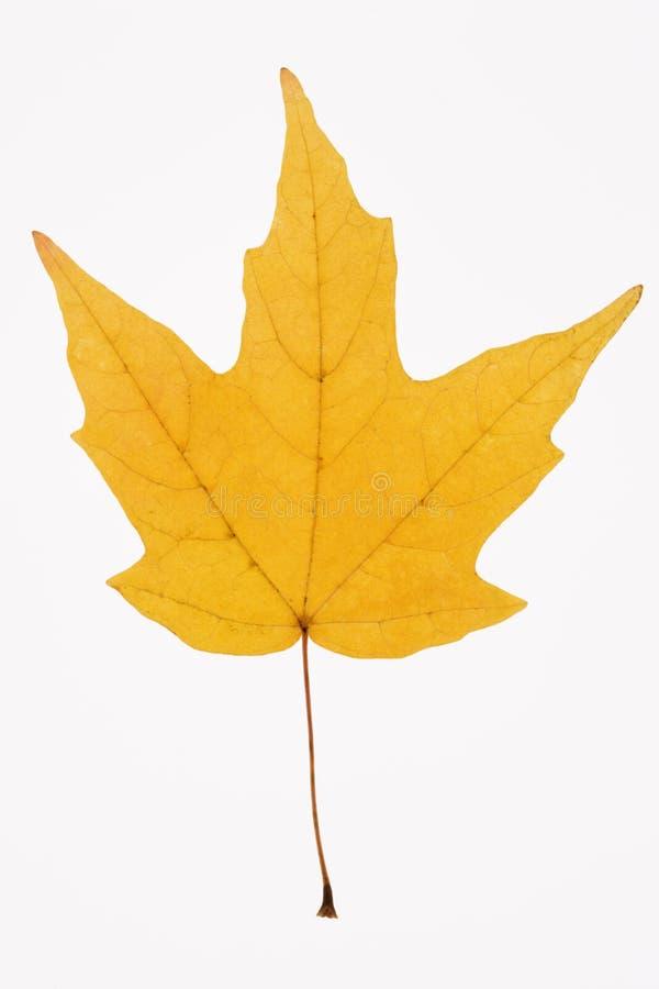 Hoja de arce amarilla en blanco. imagen de archivo