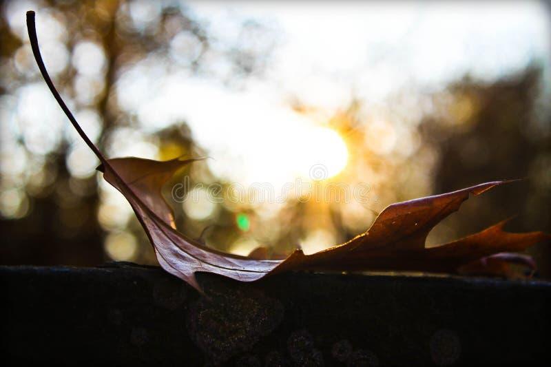 Hoja de arce amarilleada foto de archivo libre de regalías