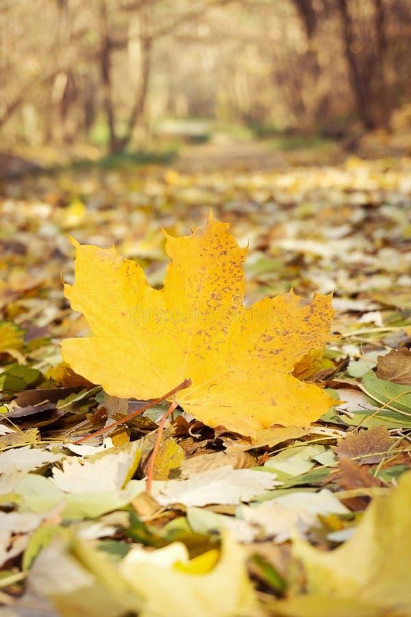 Hoja de arce amarilleada en fondo del bosque fotos de archivo libres de regalías