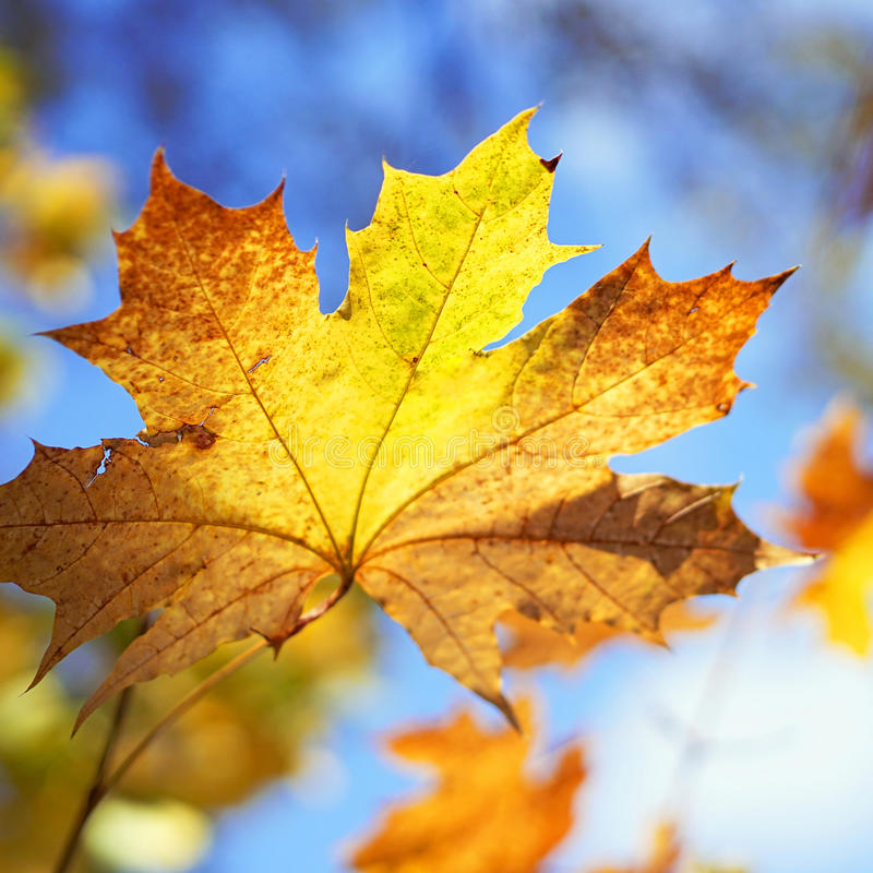 Hoja de arce amarilleada, fondo del otoño imagen de archivo