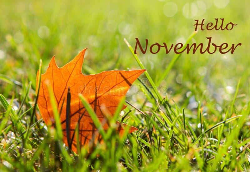 Hoja de arce anaranjada sola que miente en la hierba verde mojada del rocío de la mañana con las letras hola noviembre imagen de archivo libre de regalías