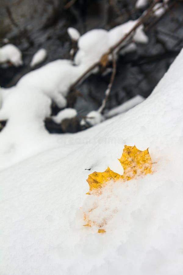 Hoja de arce caida amarilla en la primera nieve fresca imagenes de archivo