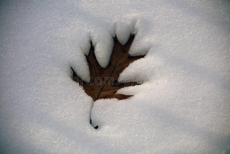 Hoja de arce caida en nieve durante invierno imagen de archivo