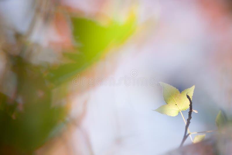 Hoja De Arce Con Color Agradable Fotografía de archivo libre de regalías
