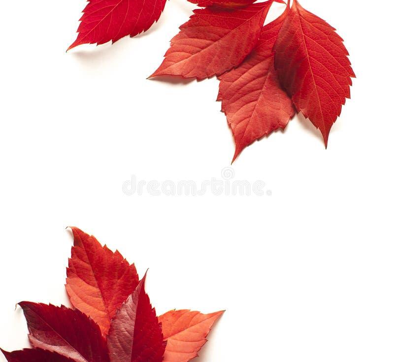 Hoja de arce del otoño aislada en el fondo blanco foto de archivo libre de regalías