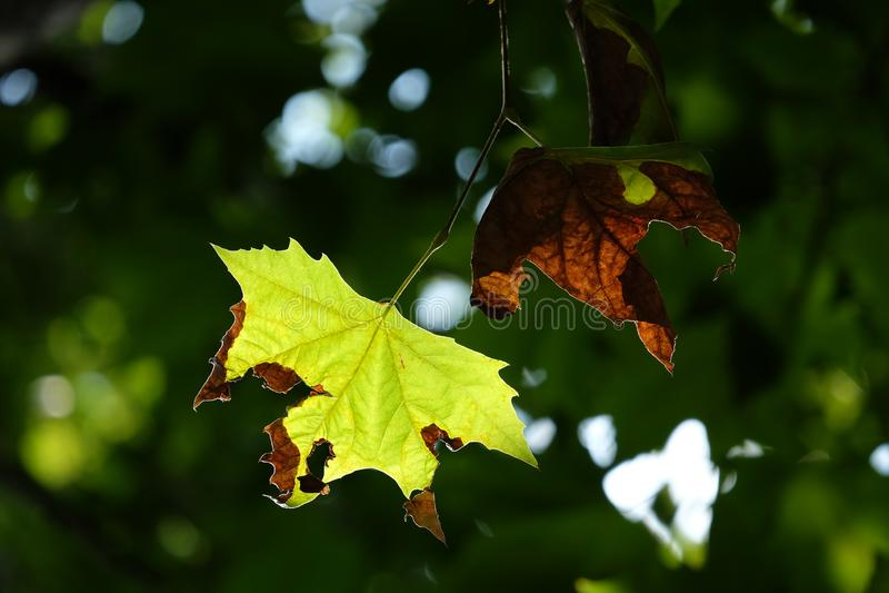 Hoja de arce joven y vieja del azúcar con sol ligera suave por la mañana y el fondo verde borroso de árboles en delanteras fotos de archivo libres de regalías