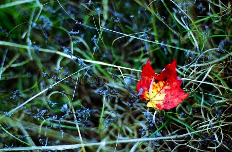 Hoja de arce roja en el otoño imagen de archivo