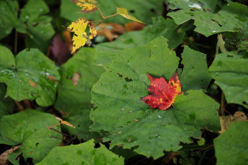 Hoja de arce roja en medio de las hojas verdes fotografía de archivo libre de regalías