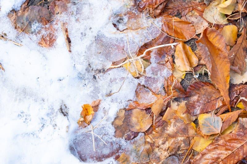 Hoja de arce roja en una nieve blanca en la estación del invierno, fondo de la hoja de arce del otoño foto de archivo libre de regalías