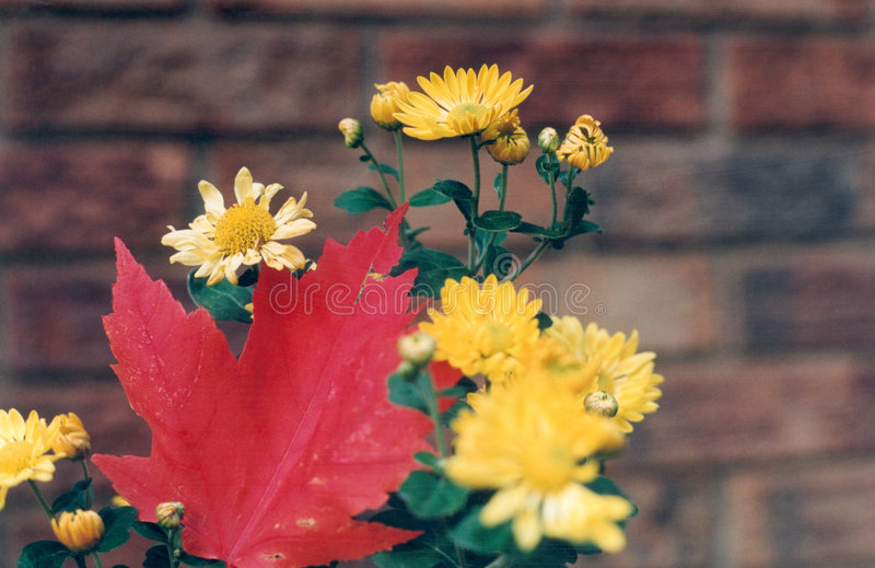 Hoja de arce roja, flores amarillas fotos de archivo