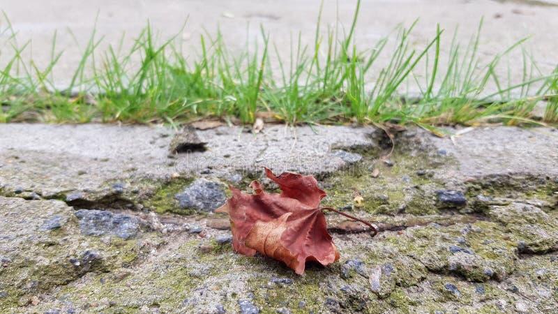 Hoja de arce seca en el suelo dilapidado del bloque de cemento foto de archivo libre de regalías