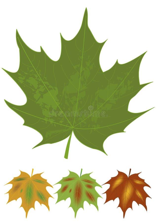 hoja de arce verde y variantes multicoloras de las hojas de otoño Nombre botánico Acer Sistema de elementos naturales del diseño  stock de ilustración