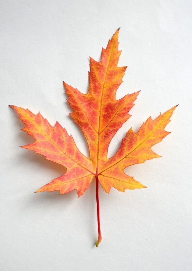 Hoja de arce viva aislada en el fondo blanco Hoja de arce brillante del otoño Una hoja anaranjada aislada con las rayas rojas imagen de archivo libre de regalías