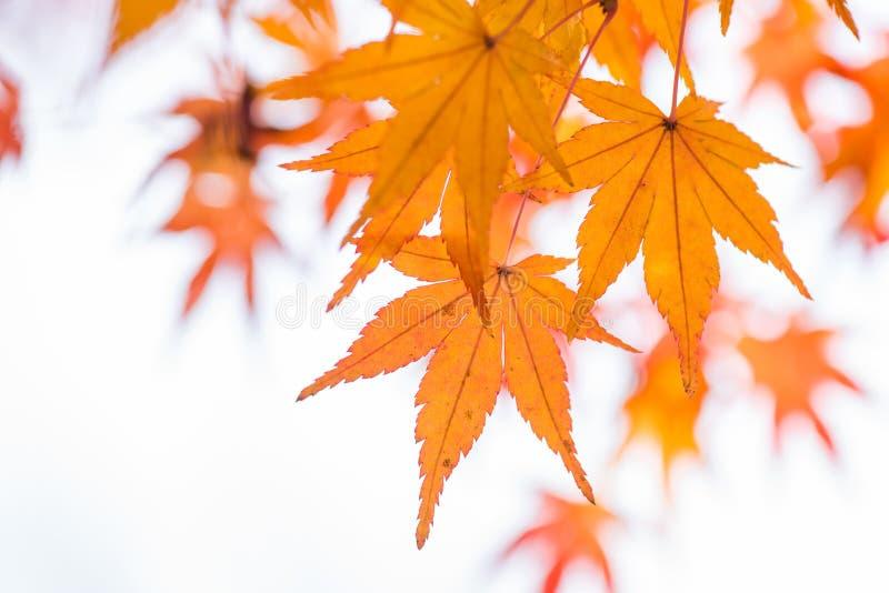 Hoja de arce y rama anaranjadas fotografía de archivo