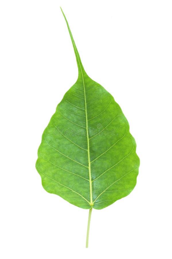 Hoja de Bodhi o de Peepal del árbol de Bodhi fotografía de archivo