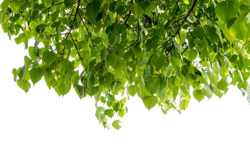 Hoja de Bodhi o de Peepal del árbol de Bodhi imagenes de archivo