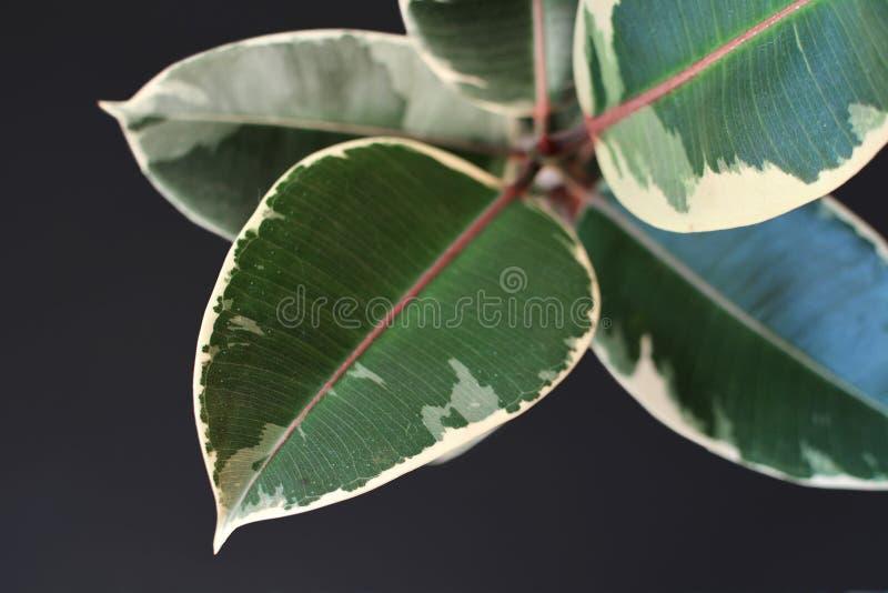 Hoja de a exótica 'planta del árbol de goma de Elastica Variegata de los ficus 'en fondo negro fotos de archivo libres de regalías