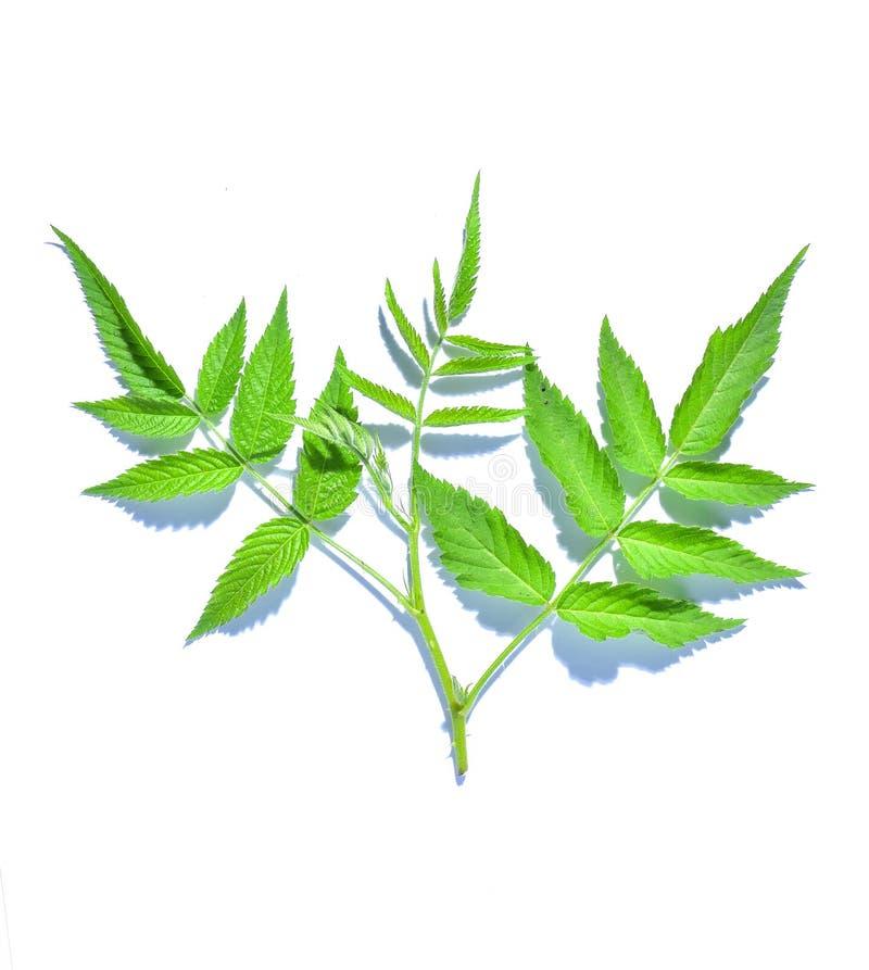 Hoja de frambuesa, vid tropical evergreen aislada en fondo blanco, camino de recorte incluidoGran corazón en forma de verde l foto de archivo