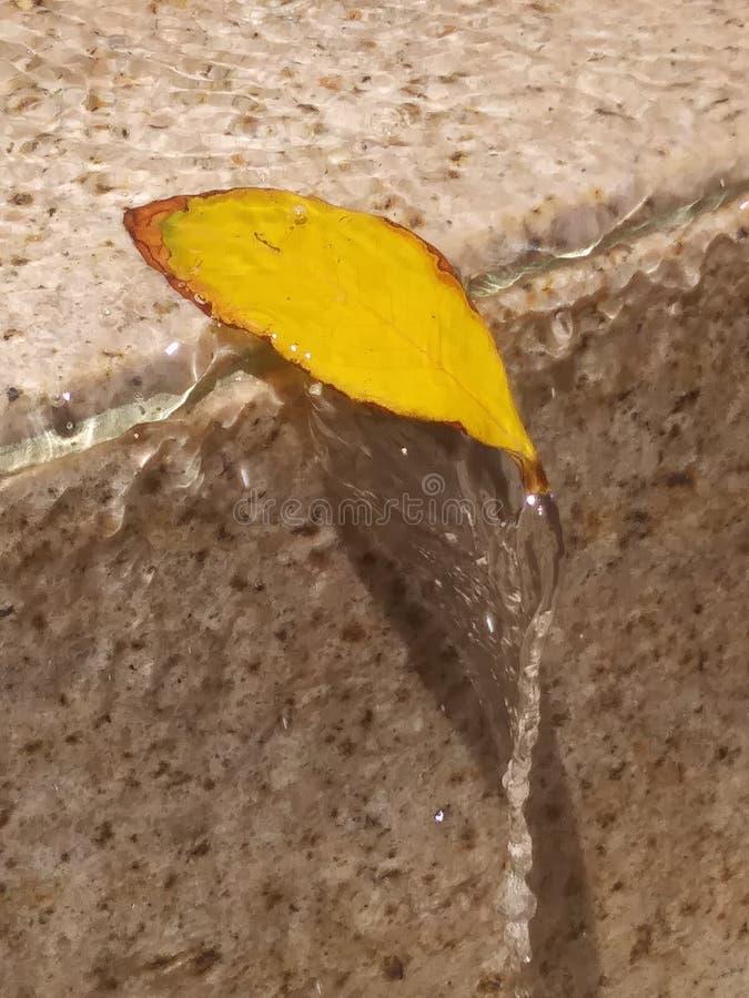 hoja de la fuente de agua, hoja en la fuente, apenas colgando encendido, paso con la hoja, pequeña hoja amarilla, hoja amarilla d imágenes de archivo libres de regalías