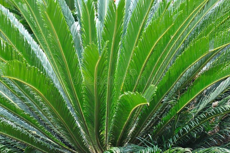 Hoja de la parte radial del Cycadaceae fotografía de archivo