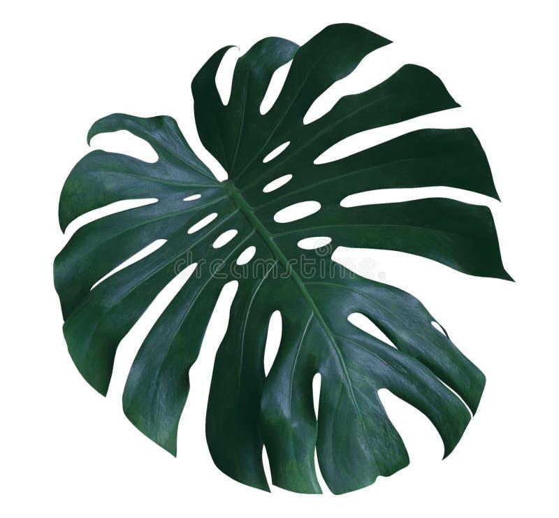 Hoja de la planta de Monstera, la vid imperecedera tropical aislada en el fondo blanco, trayectoria foto de archivo libre de regalías