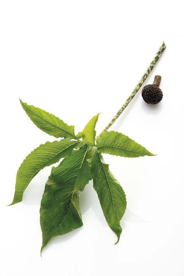 Hoja de la planta del Jack-en--púlpito (Arisaema) y de la fruta imagenes de archivo