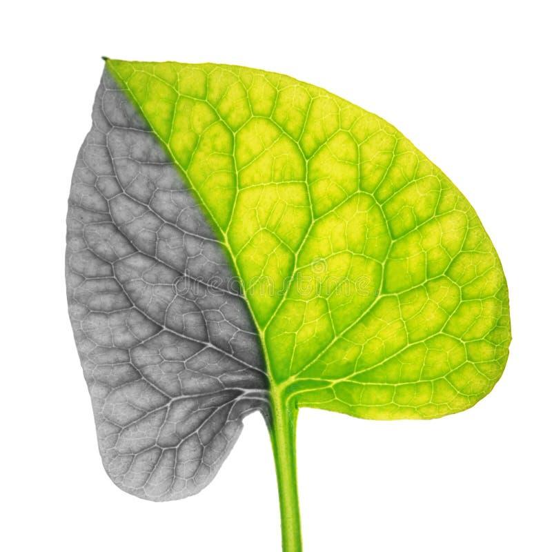 Hoja de la planta que simboliza el cáncer de pulmón foto de archivo