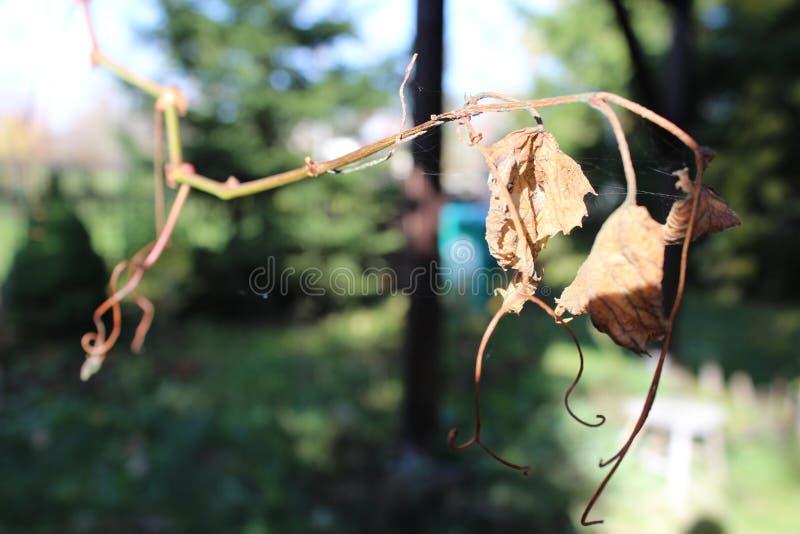 Hoja de la uva en otoño fotos de archivo