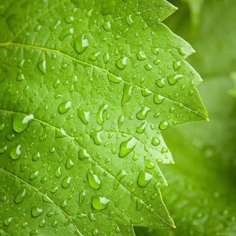 Hoja de la vid en la lluvia foto de archivo libre de regalías