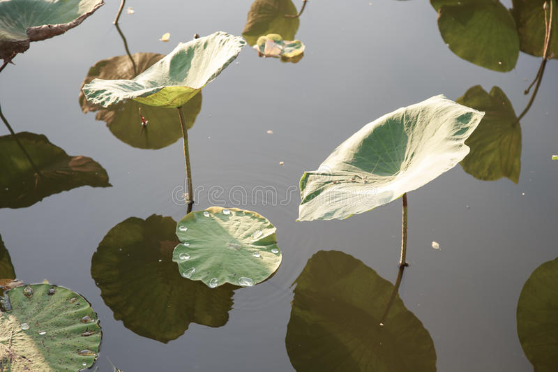 Download Hoja de Lotus en la charca foto de archivo. Imagen de estación - 64213234