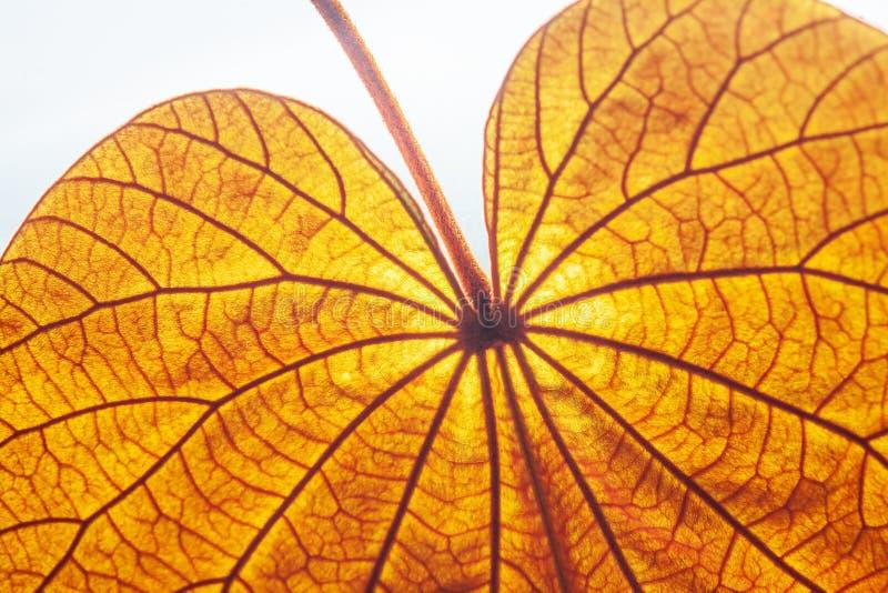 Hoja de oro transparente abstracta con textura hermosa en el fondo blanco La hoja de oro o Yan Da O es una vid rara, natural fotos de archivo