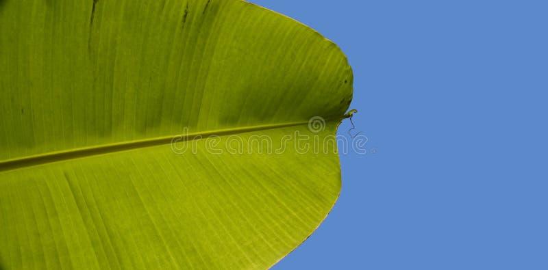 Hoja de palma del plátano en azul foto de archivo