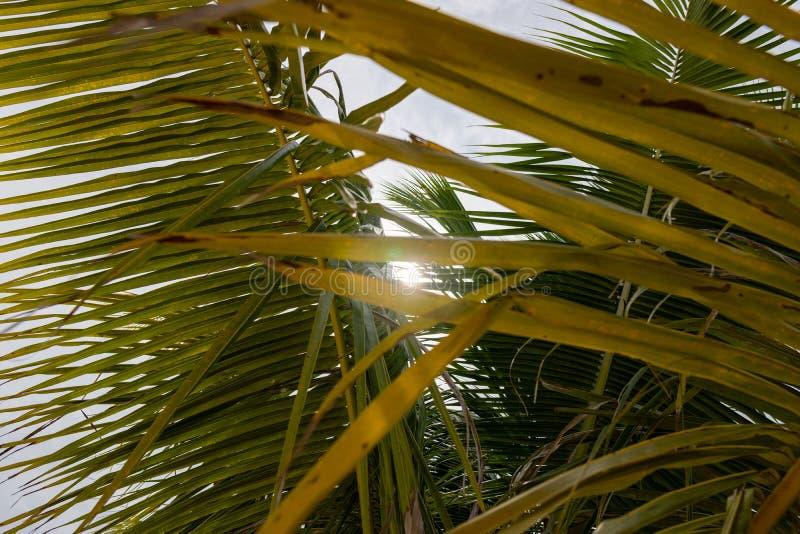 Hoja de palma inclinada del coco aislada en fondo del cielo foto de archivo libre de regalías