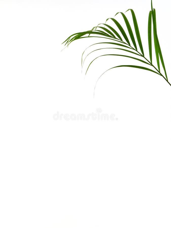 Hoja de palma tropical en el fondo blanco fotos de archivo
