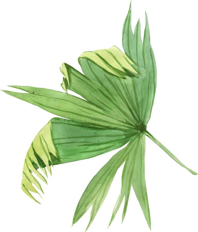 Hoja de palma tropical, hoja de la selva aislada en el fondo blanco Ilustraciones de la acuarela ilustración del vector