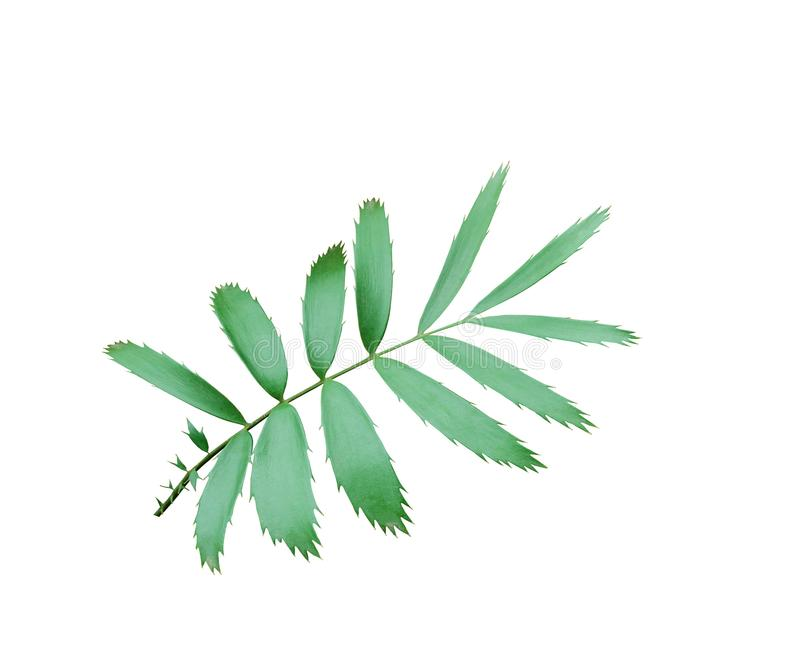 Hoja de palma verde aislada en blanco con la trayectoria de recortes imagen de archivo
