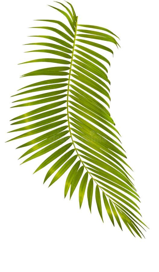 Hoja de palma verde aislada en el fondo blanco con la trayectoria de recortes foto de archivo libre de regalías