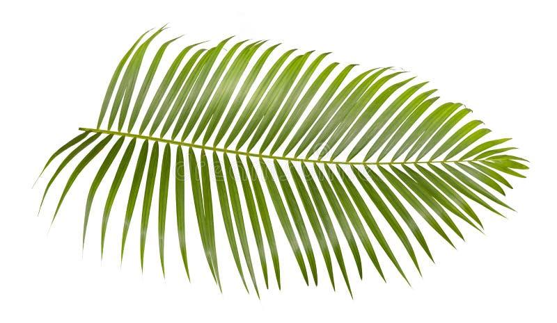 Hoja de palma verde aislada en el fondo blanco con la trayectoria de recortes foto de archivo