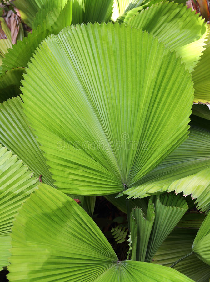 Hoja de palma verde en un jardín tropical foto de archivo libre de regalías