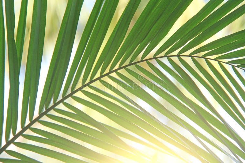 Hoja de palma y sol verdes hermosos Fondo verde de la palmera imagen de archivo